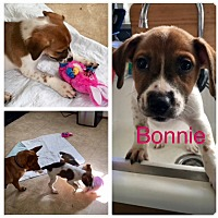 Dachshund Mix Puppy for adoption in Oxford, Connecticut - Bonnie