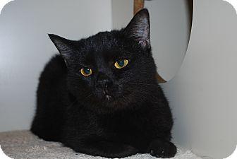 Domestic Shorthair Cat for adoption in New Castle, Pennsylvania - Quatro