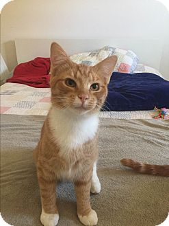 Domestic Shorthair Cat for adoption in Millersville, Maryland - Tigger