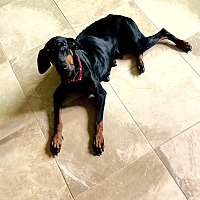 Doberman Pinscher Dog for adoption in Fort Worth, Texas - Zyla