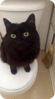 Domestic Longhair Cat for adoption in Lancaster, California - Onyx # 3