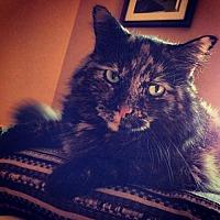 Adopt A Pet :: IL - Amber (CP) - Lambertville, MI