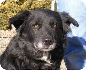 Border Collie/Australian Shepherd Mix Dog for adoption in Greeley, Colorado - Patty
