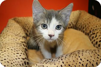 Domestic Mediumhair Kitten for adoption in SILVER SPRING, Maryland - AUSTIN