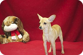 Chihuahua/Miniature Pinscher Mix Dog for adoption in New Cumberland, West Virginia - Poco