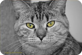 Domestic Shorthair Cat for adoption in Trevose, Pennsylvania - Trudy