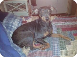 Miniature Pinscher Dog for adoption in Phoenix, Arizona - Sissy