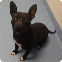 Adopt A Pet :: Sheba - Gainesville, FL