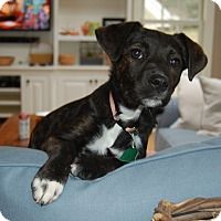 Adopt A Pet :: *Lola - PENDING - Westport, CT