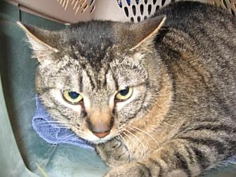 Domestic Shorthair Cat for adoption in Logan, Utah - Handsome