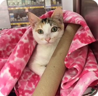 Domestic Shorthair Kitten for adoption in Houston, Texas - Serena Joy