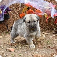 Adopt A Pet :: Garrison - Charlemont, MA