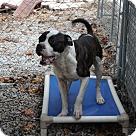 Adopt A Pet :: Pops* - Henderson, NC