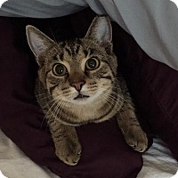 Domestic Mediumhair Cat for adoption in Cincinnati, Ohio - Starburst