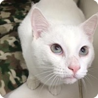 Adopt A Pet :: Cream of Tartar - Bradenton, FL