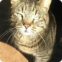 Domestic Shorthair Cat for adoption in McConnells, South Carolina - Tank