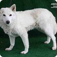 Adopt A Pet :: A084250 - Hanford, CA