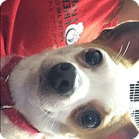 Adopt A Pet :: pikachu - Jupiter, FL