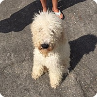 Poodle (Standard) Dog for adoption in Waycross, Georgia - Spiral
