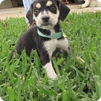Adopt A Pet :: Bandit - Bedford, TX