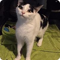 Adopt A Pet :: Juliet - Warrenton, MO