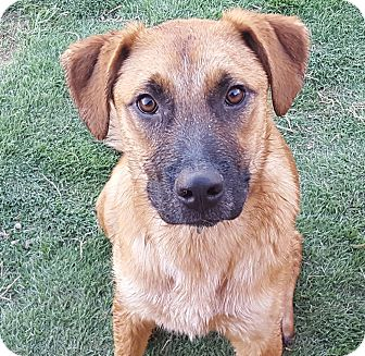 Pointer/Shepherd (Unknown Type) Mix Puppy for adoption in Las Cruces, New Mexico - Harvey