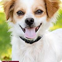 Adopt A Pet :: Bingo - Marina del Rey, CA