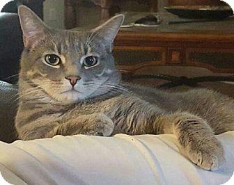 Domestic Shorthair Cat for adoption in Gilbert, Arizona - Chloe and Carl