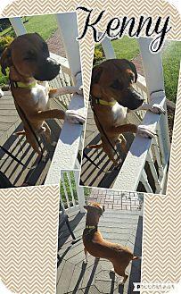 Beagle/Labrador Retriever Mix Puppy for adoption in Bryan, Ohio - Kenny