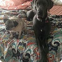 Adopt A Pet :: Rain - Huntersville, NC