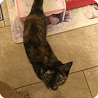 Domestic Shorthair Cat for adoption in Island Park, New York - Lilith