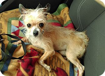 Chihuahua/Terrier (Unknown Type, Small) Mix Dog for adoption in San Francisco, California - Jingles