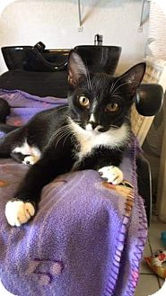 Domestic Shorthair Kitten for adoption in Tampa, Florida - Frankie