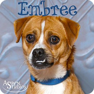 Pug/Shiba Inu Mix Dog for adoption in Valparaiso, Indiana - Embree