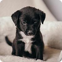 Adopt A Pet :: Pepper Potts - Westminster, CO
