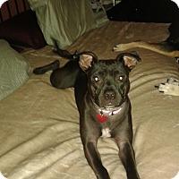 Labrador Retriever/Boston Terrier Mix Puppy for adoption in Homestead, Florida - Bella (Bellie Bean)