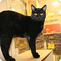 Domestic Shorthair Cat for adoption in Rochester, Minnesota - Percy