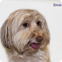 Adopt A Pet :: Dixie - Shamokin, PA