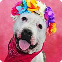 Adopt A Pet :: MICA - Louisville, KY