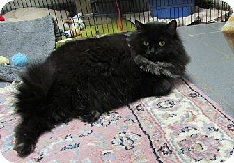 Domestic Longhair Cat for adoption in Cannon Falls, Minnesota - Lizzie