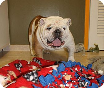 English Bulldog Dog for adoption in Winder, Georgia - Dewey