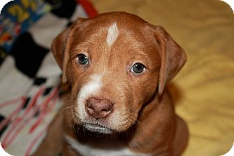 Labrador Retriever/Bulldog Mix Puppy for adoption in Homewood, Alabama - Minnie