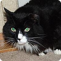 Adopt A Pet :: Papa Bear - Stafford, VA