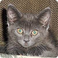 Adopt A Pet :: GrayFeather - North Highlands, CA