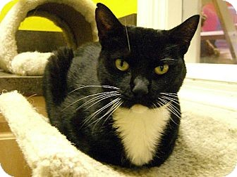 Domestic Shorthair Cat for adoption in Jupiter, Florida - Kirby