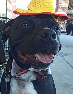 Pit Bull Terrier/Labrador Retriever Mix Dog for adoption in Portland, Oregon - A - BUGSY