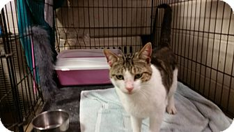 Domestic Shorthair Cat for adoption in Houston, Texas - MAC