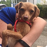 Adopt A Pet :: Milo - Pitt Meadows, BC
