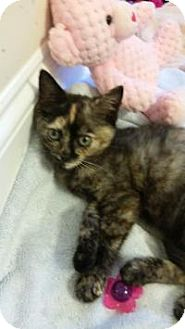 Domestic Shorthair Kitten for adoption in Duluth, Georgia - Amelia