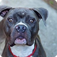 Adopt A Pet :: Cassious - New Port Richey, FL